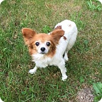 Adopt A Pet :: Sugar  (Courtesy Listing) - Gig Harbor, WA
