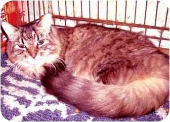 Maine Coon Cat for adoption in New York, New York - Tomasina