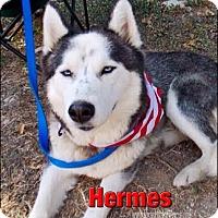 Adopt A Pet :: Hermes - Carrollton, TX