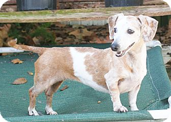 Dachshund/Chihuahua Mix Dog for adoption in Umatilla, Florida - Karman