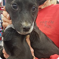 Australian Cattle Dog Mix Puppy for adoption in Fresno, California - Cheyenne