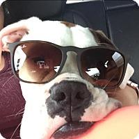 Adopt A Pet :: Lainey - Austin, TX