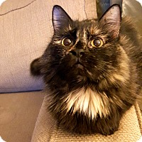 Adopt A Pet :: Carra - Lombard, IL