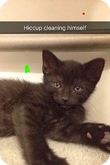 Domestic Shorthair Kitten for adoption in Dale City, Virginia - KITTENS, KITTENS, KITTENS