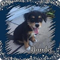 Adopt A Pet :: Hamlet- Tiny - Genoa City, WI