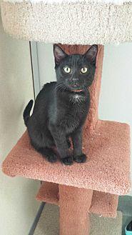 Domestic Shorthair Kitten for adoption in Westminster, California - Midnight