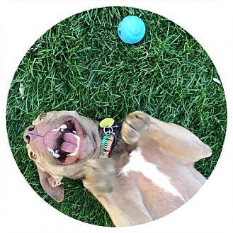 Labrador Retriever Mix Dog for adoption in Denver, Colorado - Jolene