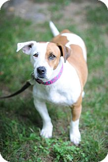 Basset Hound/Boxer Mix Dog for adoption in Glastonbury, Connecticut - Paige~meet me~new pics!