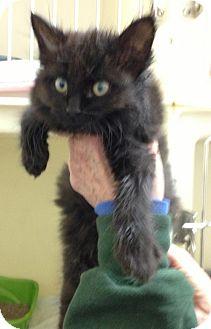 Maine Coon Kitten for adoption in Zanesville, Ohio - 47914 Shena sponsored $60