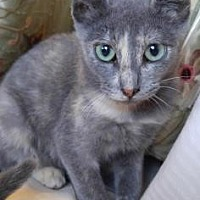 American Shorthair Kitten for adoption in Santa Fe, Texas - Mei Ling