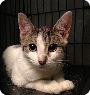 Domestic Shorthair Kitten for adoption in East Brunswick, New Jersey - Chloe