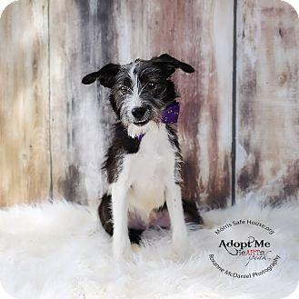 Border Collie/Schnauzer (Miniature) Mix Puppy for adoption in Lubbock, Texas - Paxon
