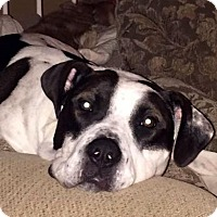American Bulldog Mix Dog for adoption in Westmont, Illinois - TUCKER