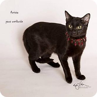 Siamese Cat for adoption in Westlake, California - ACRISTA