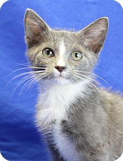 Domestic Shorthair Kitten for adoption in Winston-Salem, North Carolina - Grayson