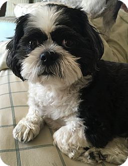 Shih Tzu/Lhasa Apso Mix Dog for adoption in Mississauga, Ontario - Indy-adoption pending