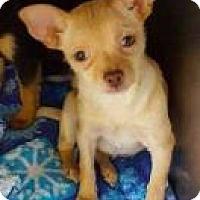 Adopt A Pet :: Corey - Mission, KS