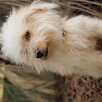Adopt A Pet :: Cupcake - Beverly Hills, CA