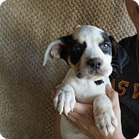 Adopt A Pet :: Caramel - Oviedo, FL