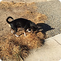 Manchester Terrier/Chihuahua Mix Dog for adoption in Corona, California - Rosebud, Bella Cuddles MOM~