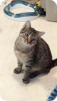 Domestic Shorthair Cat for adoption in Colorado Springs, Colorado - Randolph