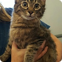 Maine Coon Cat for adoption in Lyons, Illinois - Kiki
