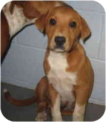 Beagle/Great Pyrenees Mix Puppy for adoption in Stillwater, Oklahoma - Mariven