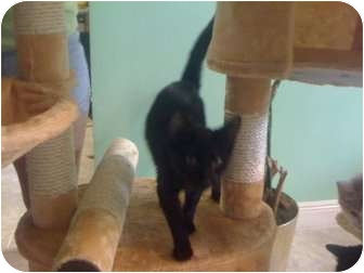 Domestic Shorthair Cat for adoption in Mobile, Alabama - Thelma
