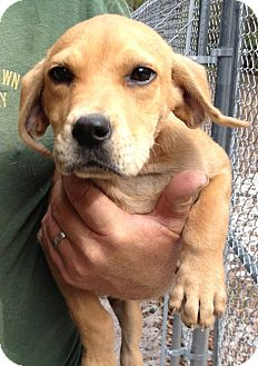 Hound (Unknown Type)/Shepherd (Unknown Type) Mix Puppy for adoption in Gainesville, Florida - Winston