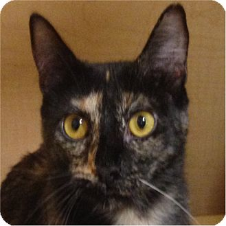 Domestic Shorthair Cat for adoption in Weatherford, Texas - Ling