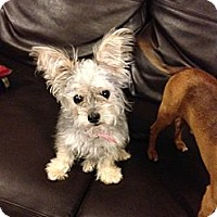 Adopt A Pet :: Cora - Somers, CT