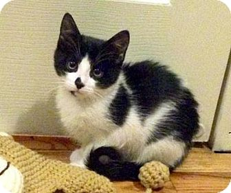 Domestic Mediumhair Cat for adoption in Queens, New York - Sundae