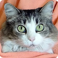 Domestic Mediumhair Cat for adoption in Renfrew, Pennsylvania - Buttons
