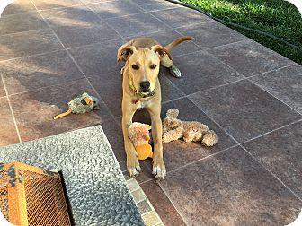 Shepherd (Unknown Type)/Labrador Retriever Mix Dog for adoption in San Ysidro, California - Diego