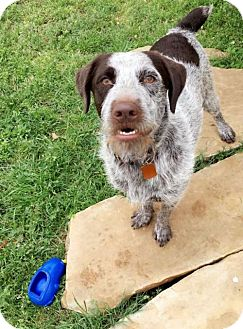 German Wirehaired Pointer Dog for adoption in Denton, Texas - Moonshine