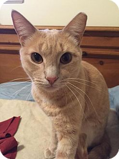 Domestic Shorthair Cat for adoption in Ellicott City, Maryland - .Alfredo