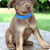 Adopt A Pet :: Collin - Waldorf, MD