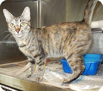 Domestic Shorthair Cat for adoption in Newport, North Carolina - Marlena