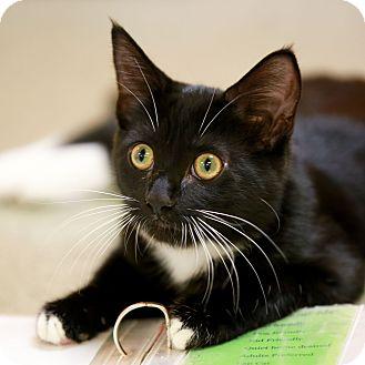 Domestic Shorthair Kitten for adoption in Kettering, Ohio - Carolina Vinegar
