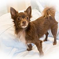 Adopt A Pet :: Louie - Santa Clara, CA