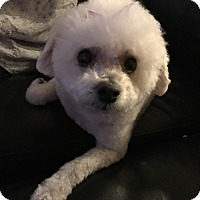 Adopt A Pet :: Coco - North Las Vegas, NV