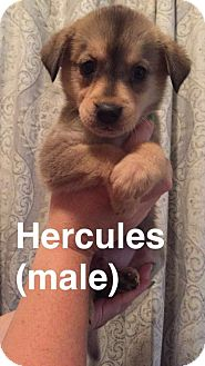 Husky/Labrador Retriever Mix Dog for adoption in Olympia, Washington - Hercules