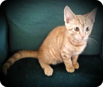 Domestic Shorthair Cat for adoption in Fairborn, Ohio - Redman