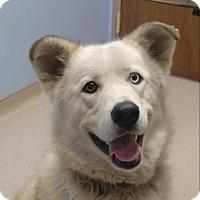 Adopt A Pet :: Layla - Brattleboro, VT