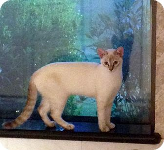 Siamese Kitten for adoption in Alvin, Texas - Miss Tessie