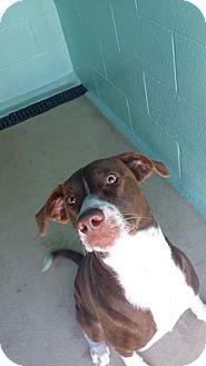 Hound (Unknown Type) Mix Dog for adoption in Manteo, North Carolina - Coco