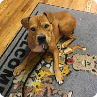 Retriever (Unknown Type) Mix Dog for adoption in Shelburne, Vermont - Guiness