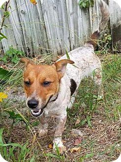 Australian Cattle Dog/Corgi Mix Puppy for adoption in Bradenton, Florida - Kirby
