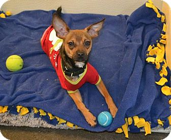 Chihuahua/Terrier (Unknown Type, Medium) Mix Dog for adoption in Akron, Ohio - Sinatra