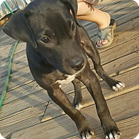 Labrador Retriever Mix Puppy for adoption in East Windsor, Connecticut - Maya